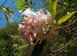× Chitalpa tashkentensis