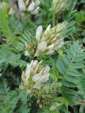 Astragalus inopinatus