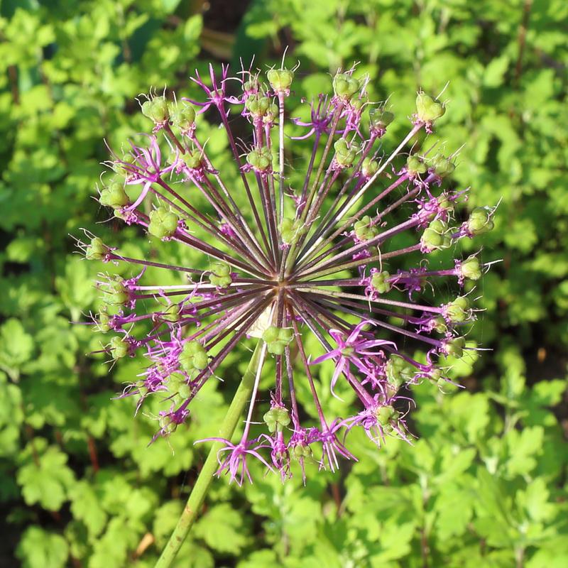 Лук ложнорозенбахов (Allium rosenorum)