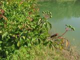 Swida australis