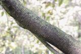 Sorbus hybrida