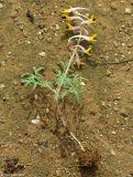 Corydalis schanginii ssp. ainae