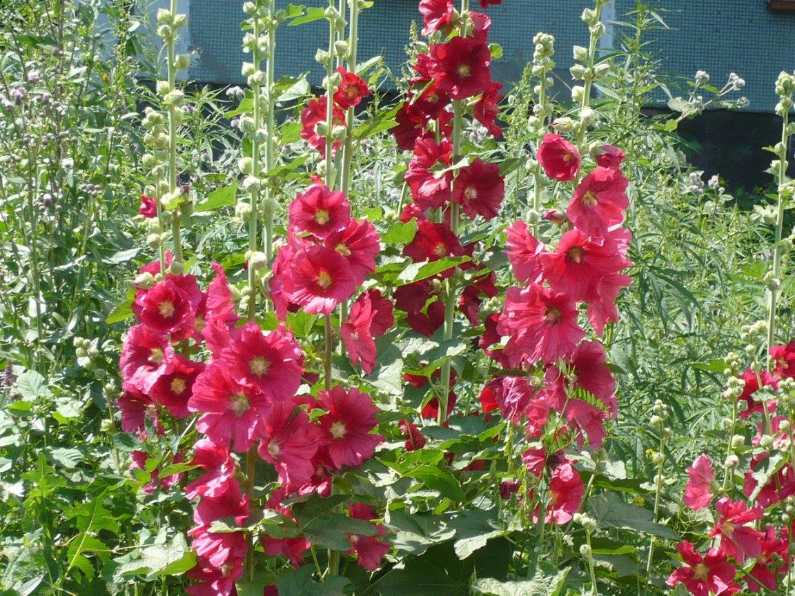 Выращивание шток розы однолетней 44