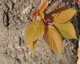 Prunus serrulata var. lannesiana