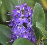 Hebe × andersonii