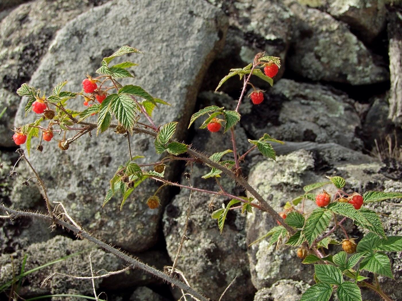 растения магаданской области фото