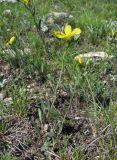 Linum alexeenkoanum