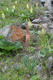 Eremurus × decoloratus