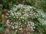 Laserpitium alpinum
