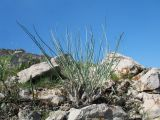 Allium talassicum