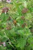 Mentha × verticillata