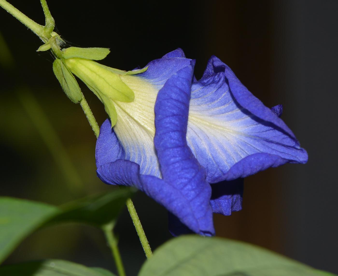 Растение клитория тройчатая Предлагаю
