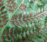 Woodsiaceae
