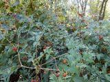 Ampelopsis japonica