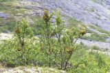 Betula czerepanovii