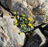 Ranunculus cadmicus ssp. cyprius