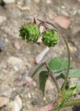 http://www.plantarium.ru/dat/plants/5/549/231549.jpg