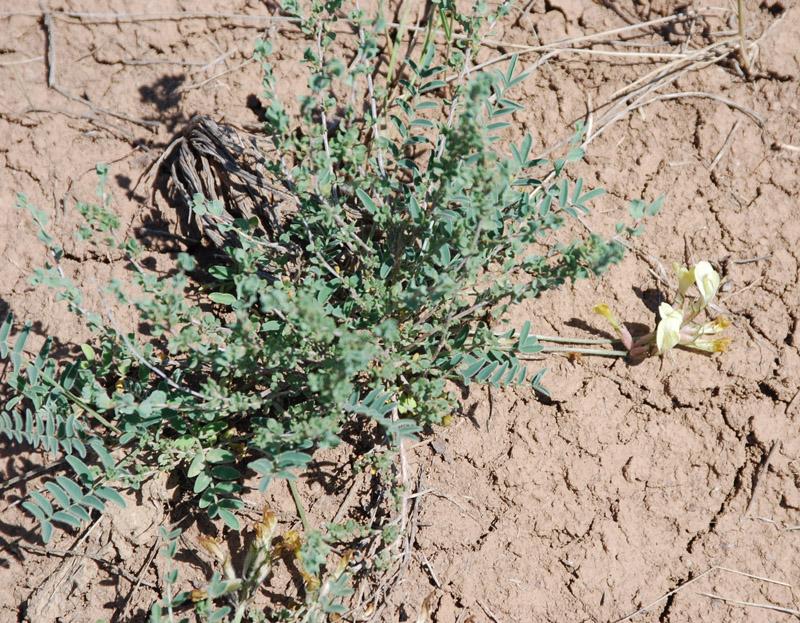 Изображение растения Astragalus sytinii.