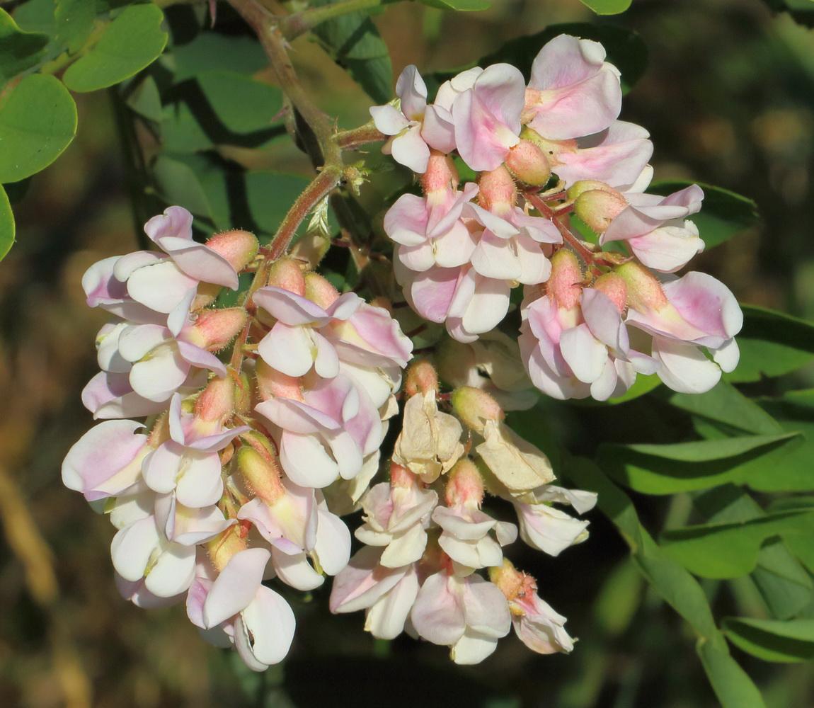 Робиния сомнительная (Robinia × ambigua)