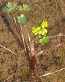 Ranunculus sceleratus