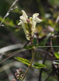 Scutellaria stepposa