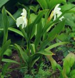 Roscoea cautleyoides