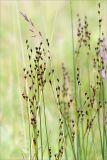 Juncus atrofuscus