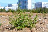 Chenopodium acerifolium