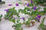 Lathyrus japonicus ssp. pubescens