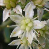 Hylotelephium stepposum