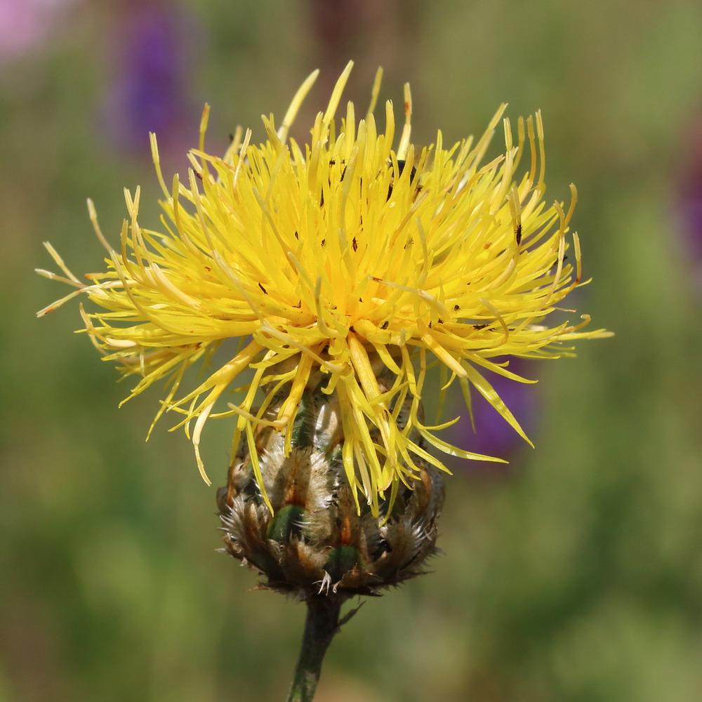 Василёк восточный (Centaurea orientalis)