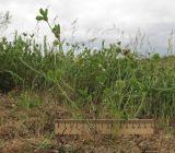 Trifolium leucanthum