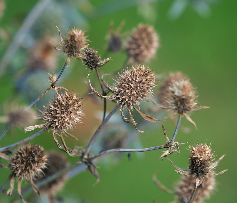 Синеголовник плоский (Eryngium planum). Автор фото:Виталий Гуменюк