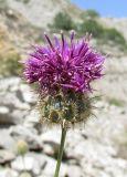 Centaurea carduiformis