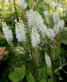 Cimicifuga rubifolia