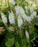 Cimicifuga racemosa var. cordifolia