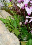 Nigella ciliaris