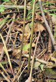Dryopteris goeringiana