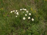 Anthemis rigescens