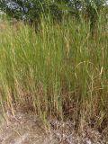 Typha laxmannii