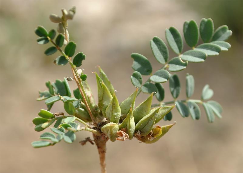 Изображение растения Astragalus ammophilus.
