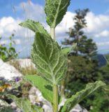 Asyneuma campanuloides