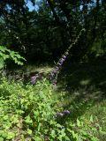 Campanula cordifolia