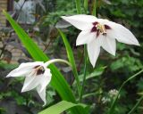 Gladiolus murielae