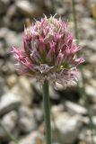 Allium nathaliae
