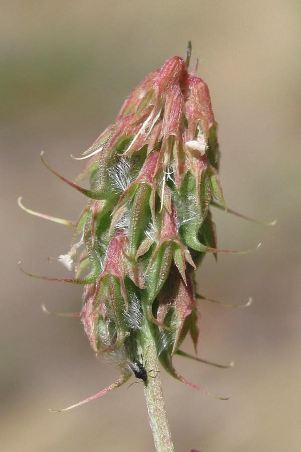 Пажитник фото растения