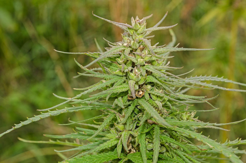 Botanical description useful hemp