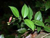 Aeschynanthus moningeriae