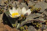 Tulipa regelii