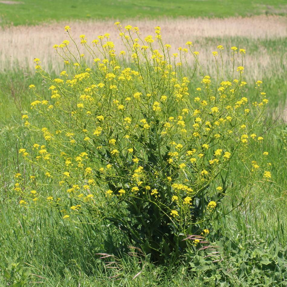 Свербига восточная (Bunias orientalis)